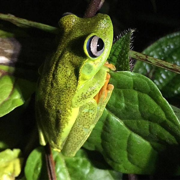 perereca-verde-ou-hypsiboas-albomarginat