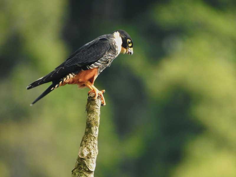 Falco rufigularis - cauré