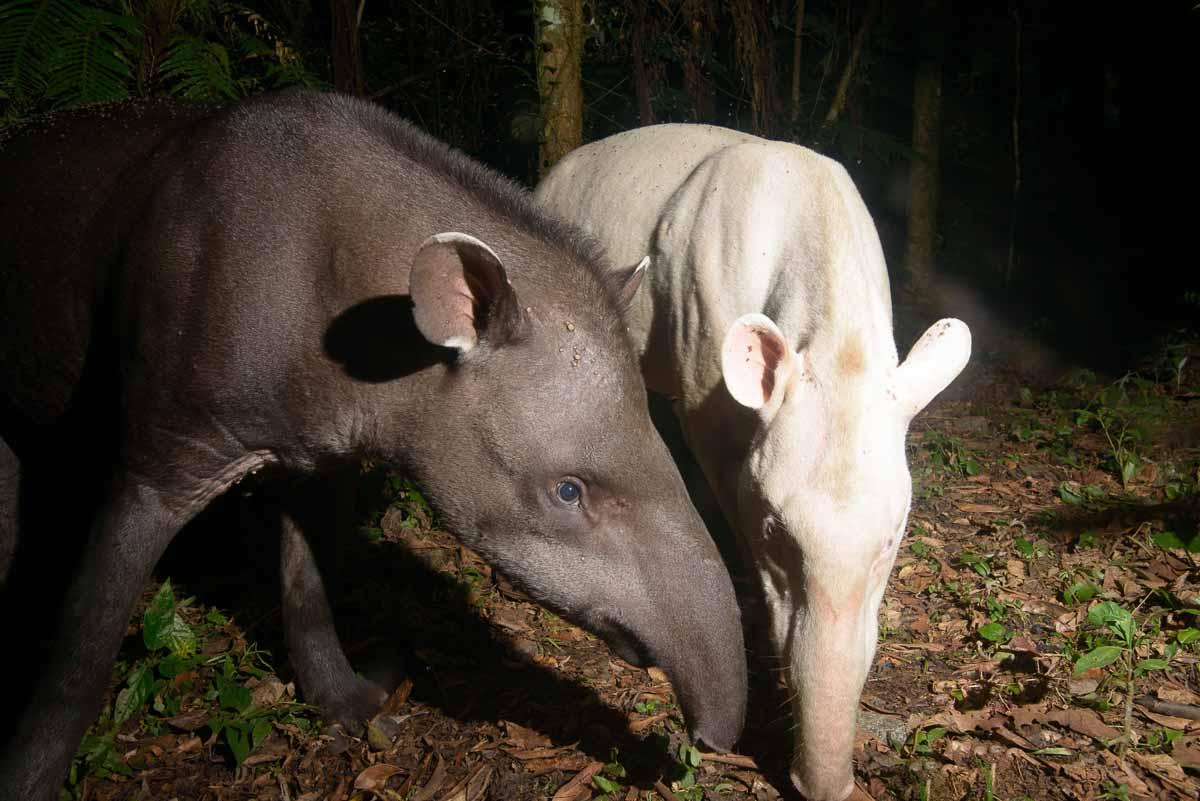 Anta e anta albina-Tapirus terrestres