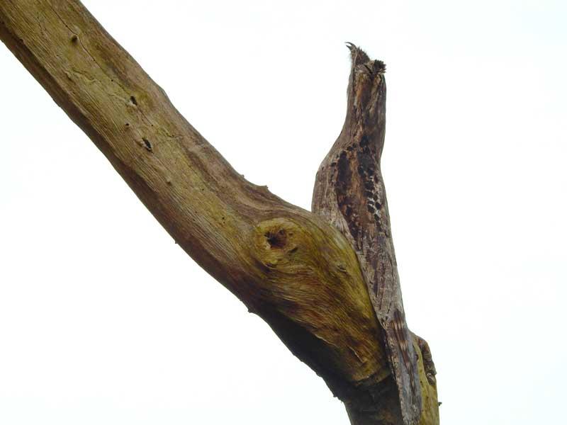 Nyctibius griseus – Ururau