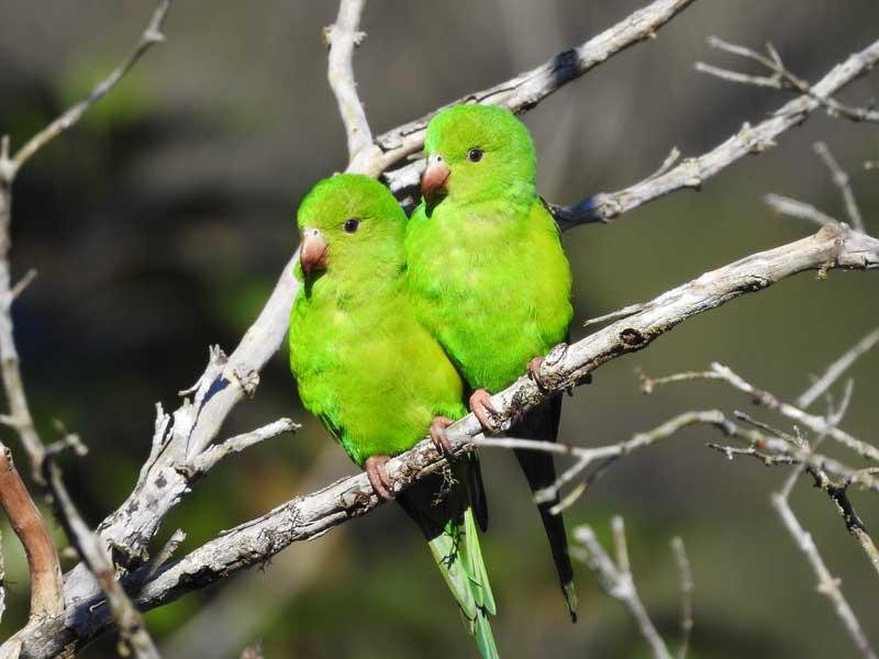 Brotogeris tirica - periquito - verde