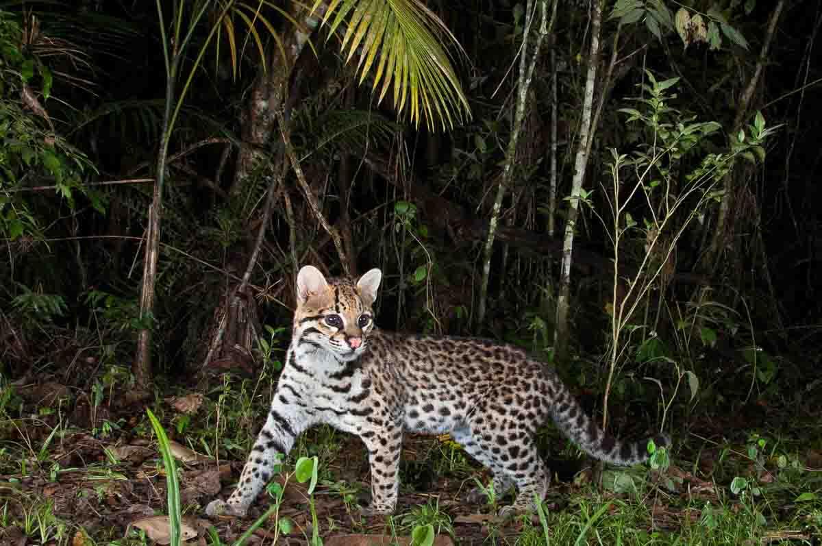 Jaguatirica - Leopardus pardalis