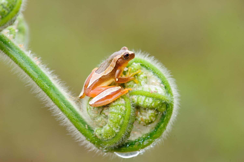 Perereca de moldura - Dendropsophus Elegans